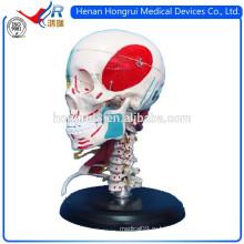 ISO-модель детского взрослого черепа с оттенками, указывающими мышцы и кости