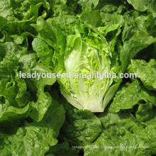 MLT02 Xinpin feuilles ridées vertes à haut rendement graines de laitue Chine