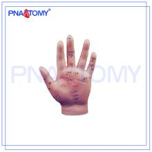 Modelo humano de la acupuntura de la mano PNT-AM25 los 15cm