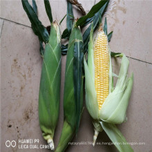 Suntoday resistente al calor de alta adaptación yiedl comprar en línea semillas de maíz de maíz ceroso blanco (62002)