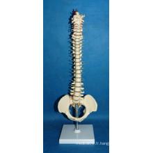 Modèle de colonne de vertébrale humaine de haute qualité avec pelvis (R020718)