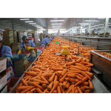2016 nouvelles cultures carotte fraîche de taille différente