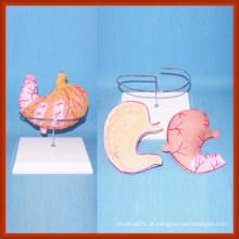 Tamanho da vida Estômago com vaso sanguíneo, nervos e modelo de distribuição de nódulos linfáticos