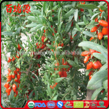 Hand selecting bayas de goji goji krem dry goji berries with low calorie