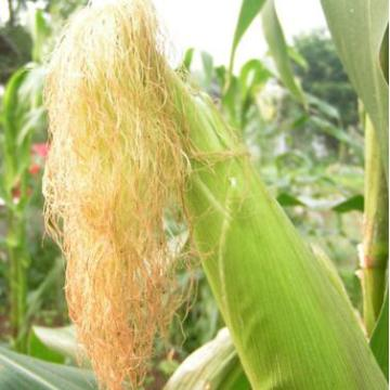 Pure Natural Corn Stigma P.E. /Corn Silk Extract/Cornsilk P.E. 10:1