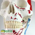 SKELETON03 (12363) squelette médical professionnel de taille de la vie médicale de médecine avec des muscles et des ligaments, modèle de squelette de 170cm