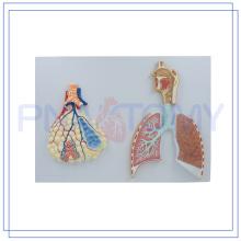 Modelo de sistema respiratorio humano de tamaño natural PNT-0435