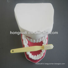 2013 HOT SALE 32/28 teeth dental care model