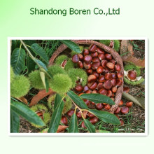 Export 2015 Super hochwertige Kastanie