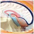 TUNK ANATOMY 12018 Plastique 23 Pièces 85cm Biologique Corps Semi-Sexe Modèle de torse en plastique médical