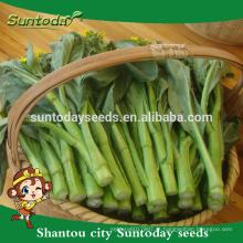 Suntoday Asiático compra de vegetais sementes orgânicas on-line F1 jardim de casa Orgânica sementes de colza choysum para efeito estufa (39001)