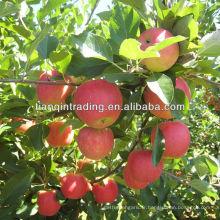 yantai pomme fraîche