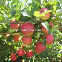 yantai fresh apple