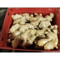 Hot Selling Fresh and Dried Ginger