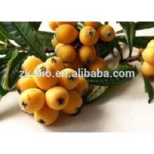 extrait de fines herbes feuille de loquat extrait poudre acide ursolique