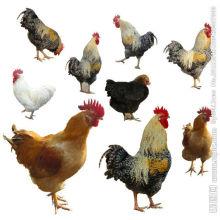Geflügelfutterzusatzstoff-Enzym