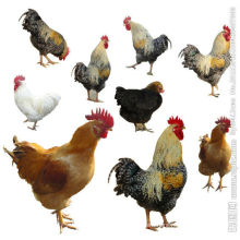 Poultry feed additive compound enzyme