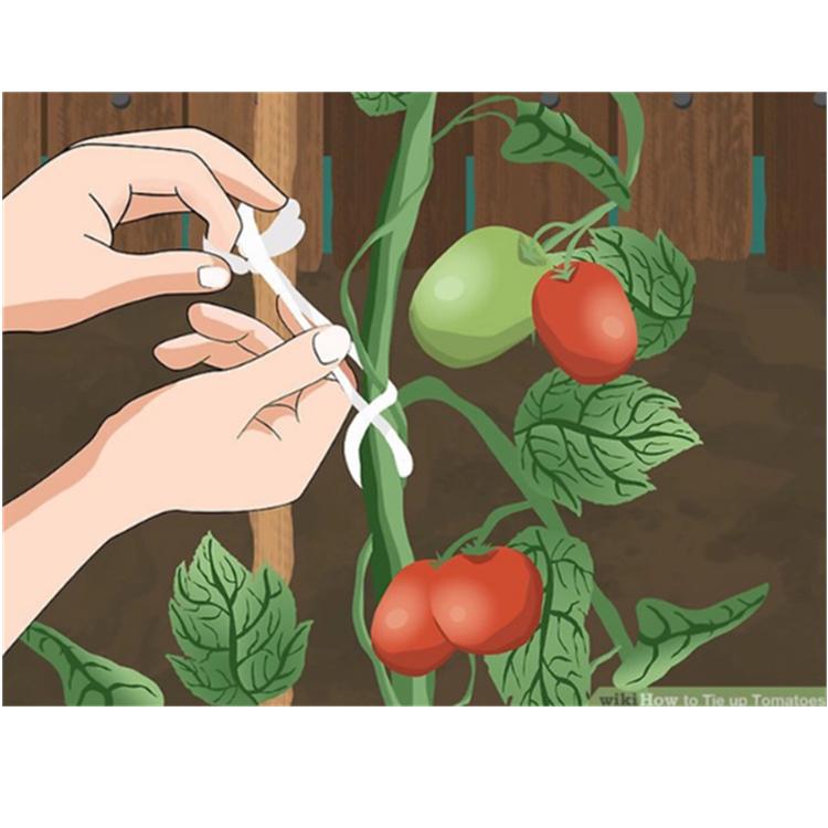 Tomate-Spalier-Linie / Plus Tomaten-Spitzen, die Gurken und Tomaten ...