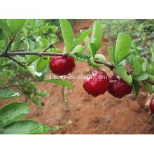 Acerola Cherry Juice Powder
