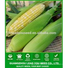 CO04 Gantian no.3 maturité précoce op jaune semences de maïs sucré à vendre