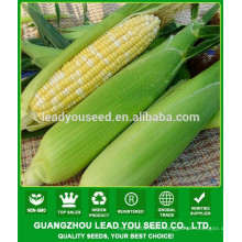 CO04 Gantian no.3 early maturity op yellow sweet corn seeds for sale