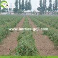 New Arrival Factory Supply Dried Goji Berry