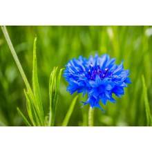Chinese Beautifl Blue Flower