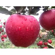 En İyi Kalite ile Red Delicious Huaniu Apple