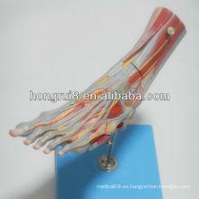 ISO Músculos del modelo del pie con los recipientes y los nervios principales, modelo del pie desmontable
