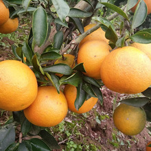 China for Mandarin Orange Chinese Fresh Mandarin/Citrus/sugar orange export to Uruguay Importers