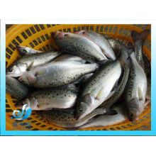 frozen fresh wholeround seabass for sale