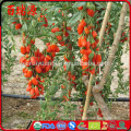 100% organic organic goji goji berries dried goji berry with high export rate