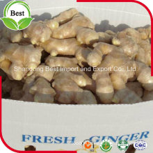Hot Sale Competitive Price New Harvested Young Ginger