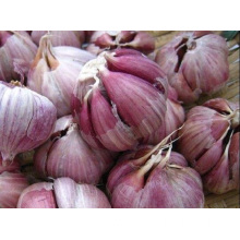 Provides The Best Quality Purple Garlic