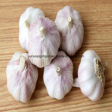 Chinesischer roter Knoblauch, lila Farbe Knoblauch