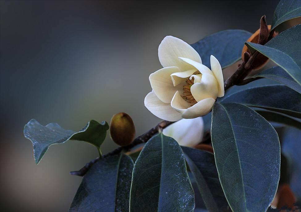 Michelia Flower Essential Oil Benefits