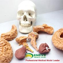 SKULL01 (12326) медицинские науки Съемный мозг человека череп анатомические модели образования