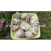 Cogumelo De Shiitake Da Flor Branca Vegetal Secado