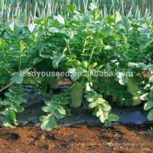 R03 Nanpangzhou tarde maturidade sementes de rabanete branco, op sementes para o plantio