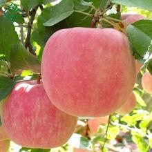 китайское свежее яблоко Фудзи свежих сладких яблок Фуджи
