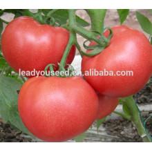 MT25 Baowen determinate round hybrid tomato seeds in hybrid seeds