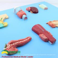 VISCERA14 (12551) Menschliche Embryologie Organe des endokrinen Modells