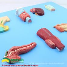VISCERA14 (12551) Órgãos de Embriologia Humana do Modelo Endócrino