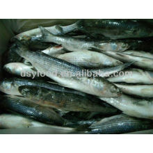 Frozen grey mullet fish for sale cheap