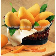 JMG01 Huangzuan Mango samen zum verkauf, pflanzung mango samen