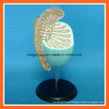 Modelo humano anatómico del testículo humano plástico para la educación