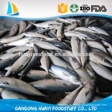 HACCP, ISO, FDA Zertifizierung und Körper, Filet, Ganze Teil gefrorene Pazifik Makrele Fisch