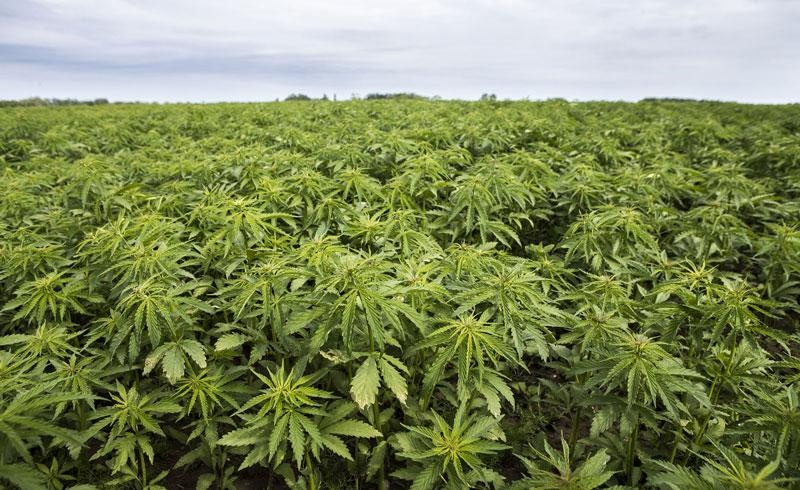organic-industry-hemp