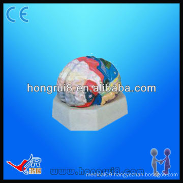 Advanced Functional Zones of Cerebral Cortex, human brain anatomical model