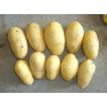 Farm Fresh Potato For Export With Low Price